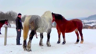 Beautiful Horse Mating Ever - Finally Female Receives the Male