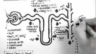 Nephron Function