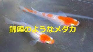 getlinkyoutube.com-ヤフオク紅椿メダカ2匹で11100円x6セット約6万で落札 紅白の更紗めだかです いいめだかでしたJapanese medaka