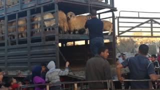 getlinkyoutube.com-خروف العيد في عمان الأردن