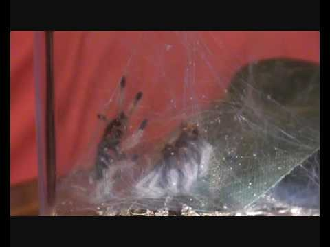 Chromatopelma cyaneopubescens Spiderling Moulting