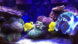 getlinkyoutube.com-How I Keep Many Tangs in a Relatively Small Tank - AmericanReef ReefKeeping Video