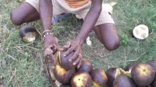 getlinkyoutube.com-harvesting palm fruit in India