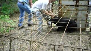 getlinkyoutube.com-hog trapping
