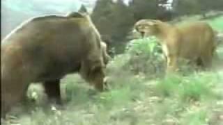 getlinkyoutube.com-جنگ خرس و شیر