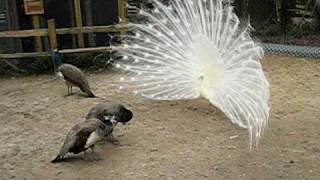 getlinkyoutube.com-White peacock in love ...