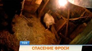 Спасите Фросю! В Перми спасатели вызволили из-под завалов домашнюю козу
