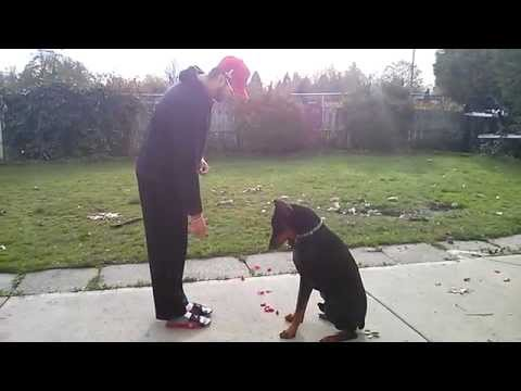 Doberman Training and Tricks