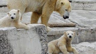 getlinkyoutube.com-転がり落ちるこぐま、駆けつける母~Polar Bear cub roll down