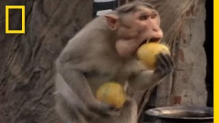 getlinkyoutube.com-Monkey Thieves Raid People's Homes