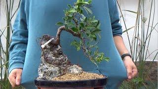 getlinkyoutube.com-Cómo hacer bonsai con raíces sobre roca - La parte práctica
