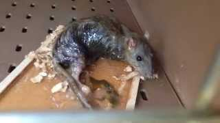 GLUE TRAP | Rescuing Richie Rat (WE DIDN'T SET THE TRAP; WE FOUND HIM)