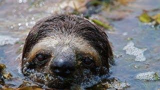 泳ぐナマケモノ。なんだそのやる気のないクロールwww