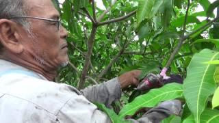 getlinkyoutube.com-การทาบกิ่งมะม่วง(GRAFTING)