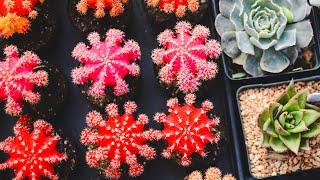 getlinkyoutube.com-Cactus grafting