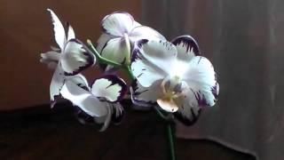 getlinkyoutube.com-Семена орхидеи. Выращивание Орхидей Фаленопсис из своих семян  дома