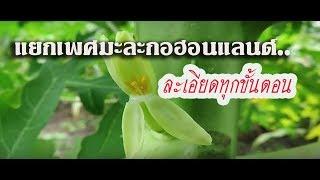 getlinkyoutube.com-วิธีสังเกตช่อดอก และแยกเพศมะละกออย่างง่ายๆ คุณทำได้แน่นอน : Sivakorn