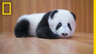 getlinkyoutube.com-Raising Cute Pandas: It's Complicated | National Geographic