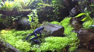 Dart frog feeding