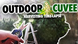 getlinkyoutube.com-Outdoor Cuvee Marijuana Harvest (Time Lapse)