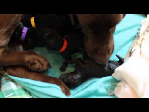 Hershey Puppy birth ** Graphic **