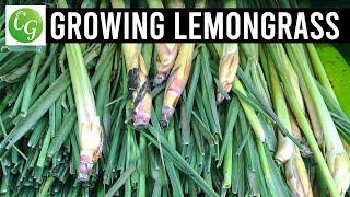 getlinkyoutube.com-Lemongrass: Grow Harvest & Preserve EZ method from grocery store lemon grass