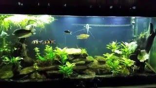 getlinkyoutube.com-Stocking Density in your Aquarium. 1inch of Fish per gallon?