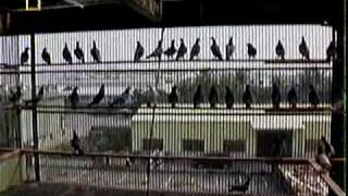 TAIWAN TO THE WORLD: THE PIGEON GAME (ENGLISH) 1/5