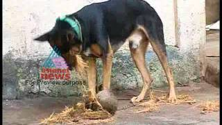 Funny Dog Peeling Coconut