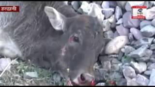 हल्द्वानी: ट्रेन की चपेट में आने से 11 गायों की दर्दनाक मौत