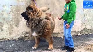 getlinkyoutube.com-الكلب سيمبا القوقازي سيكون صديق ابني الصغير المفضل مع جمال العمواسي