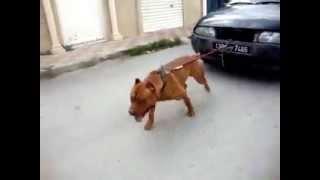 getlinkyoutube.com-كلب بيتبول يجر سيارة, Bitboul