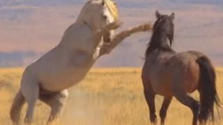 A luta por território dos cavalos selvagens - América do Norte: Born To Be Wild width=