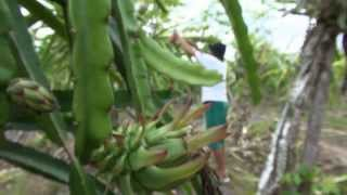 getlinkyoutube.com-NET12 - Petani buah naga di Jawa Timur merugi