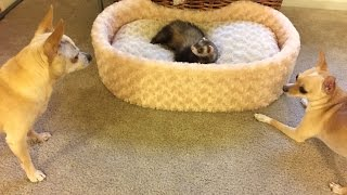 getlinkyoutube.com-Funny Ferret and Two Chihuahuas Playing