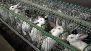 Rabbit farming -cage system