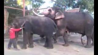 getlinkyoutube.com-Elephant Mating 1