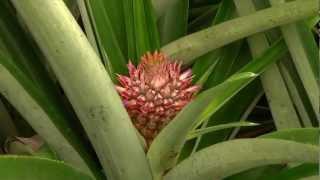 getlinkyoutube.com-DOLE - Growing Pineapples