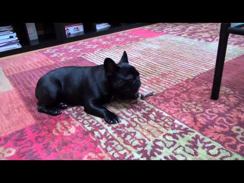 French Bulldog Toby eats Blue Buffalo dental bone