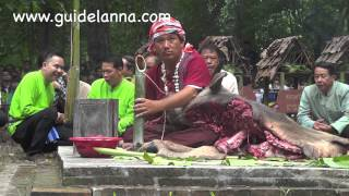 getlinkyoutube.com-พิธีเลี้ยงดง กินควายสด ๆ  ปี 57 ปู่แสะ ย่าแสะ ลงมากินควายหนุ่ม  Local rite in north of Thailand