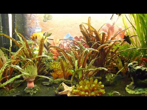 Zierfische im Aquarium / Ornamental fish in the aquarium