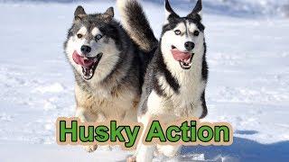 getlinkyoutube.com-Husky-Video, Husky-Action with 17 Siberian Huskies
