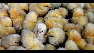 getlinkyoutube.com-ثمن استهلاك البيض ومصير الصيصان الذكور | صنع في ألمانيا
