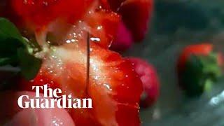 Australia's strawberry needle sabotage explained width=