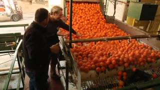 How Oranges Are Grown Harvested And Shipped By Curiosity Quest You