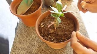 getlinkyoutube.com-Podar rosas do deserto - Técnica poda radical #01 - planter rosa do deserto adenium pruning