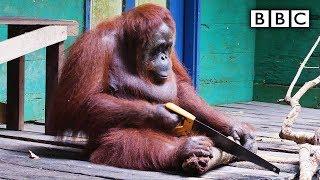 getlinkyoutube.com-Orangutan saws a tree - Spy in the Wild: Episode 2 Preview - BBC One