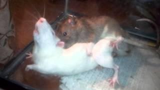 Rats mating