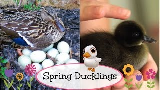 getlinkyoutube.com-Baby Ducks Hatch LIVE   Brooklyn and Bailey
