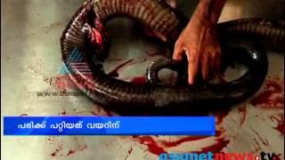 getlinkyoutube.com-King Cobra undergoes Surgery: Palakkad News, Chuttuvattom, 11th Oct 2013 ചുറ്റുവട്ടം